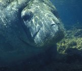 Closeup Of A Large, Mature Manatee.