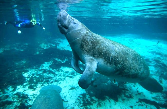 Diver approaches the docile manatee.