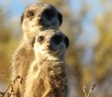 A Pair Of Meerkat Curious About The Camera.