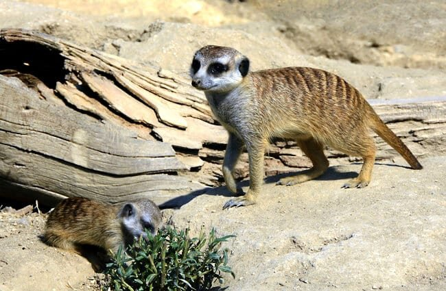 An adult and young meerkat foraging.