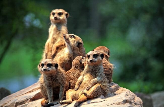 A clan of meerkat lounging in the evening sunlight.