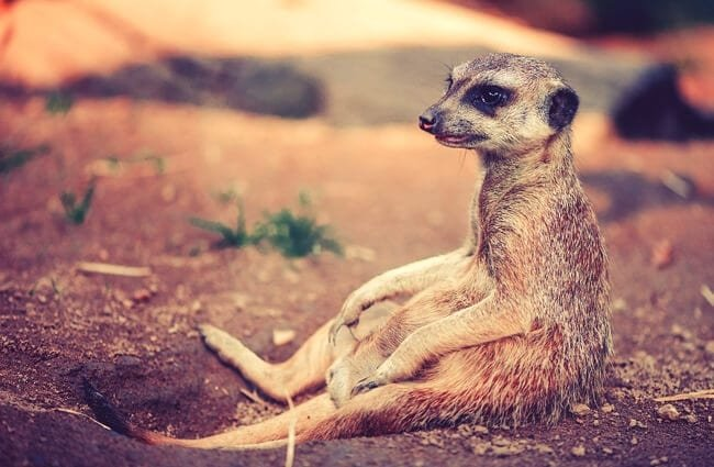 A meerkat sitting near the entrance of its den.