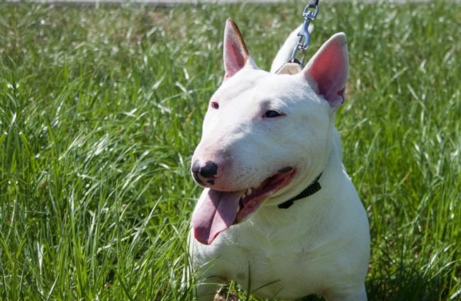 White Miniature Bull Terrier. Photo by: (c) SergeyTikhomirov www.fotosearch.com