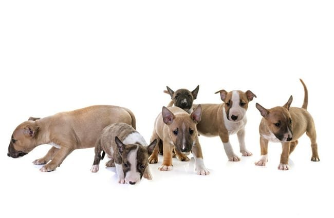 Litter of Miniature Bull Terrier puppies. Photo by: (c) cynoclub www.fotosearch.com