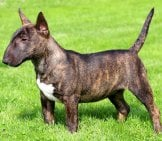 Portrait Of A Brindle Miniature Bull Terrier.photo By: (C) Capturelight Www.fotosearch.com