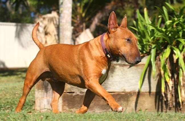 Brown Miniature Bull Terrier.