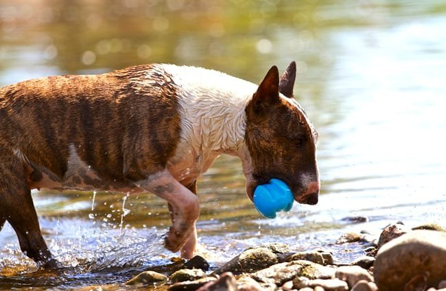 Miniature Bull Terrier playing with his ball in the river. Photo by: (c) buchsammy www.fotosearch.com