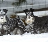 A Pair Of Black Miniature Schnauzers Playing In The Snow. Photo By: Sheltieboy Https://creativecommons.org/licenses/by/2.0/