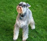 Silver Miniature Schnauzer Posing In The Yard. Photo By: Jonathan Oakley Https://creativecommons.org/licenses/by/2.0/