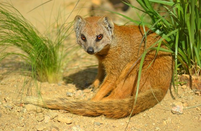 Yellow Mongoose.