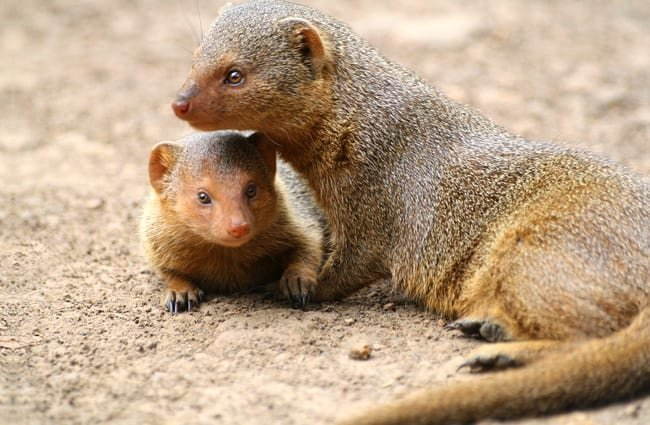 Mongoose with one of her babies.