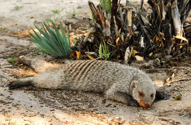 Striped Mongoose napping in the shade.