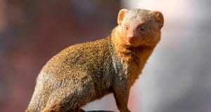 Portrait of a Mongoose.