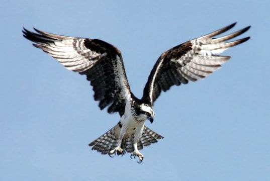 Osprey preparing to dive on its prey.