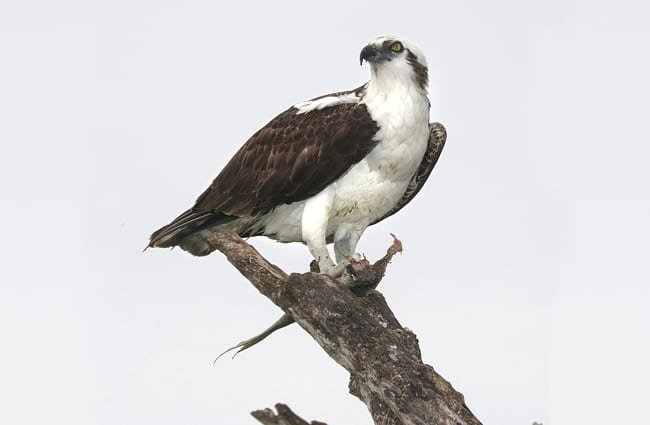 Osprey in profile.