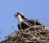 Osprey In Its Nest Of Sticks And Twigs.