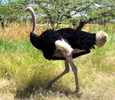 Wild Ostrich Running In Ethiopia. Photo By: David Stanley //creativecommons.org/licenses/by/2.0/