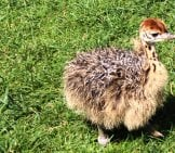 Ostrich Chick, Baby Ostrich Photo By: Jeffry Https://Creativecommons.org/Licenses/By/2.0/
