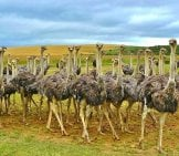 Part Of A Herd Of Ostriches.