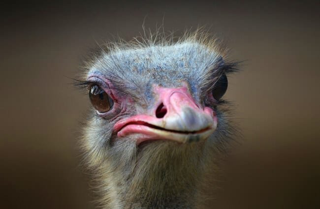 Closeup of an ostrich face.