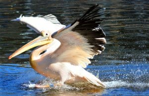 Pelican catching his fish prey right from the water.