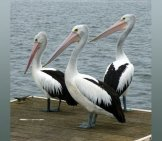 A Trio Of Australian Pelicans Lounging On The Dock.