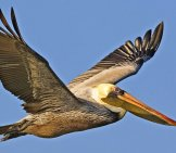 Pelican In Flight.