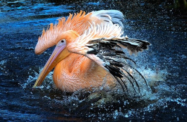 Stunning pelican with bright plumage.
