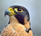 Closeup Of A Peregrine Falcon.