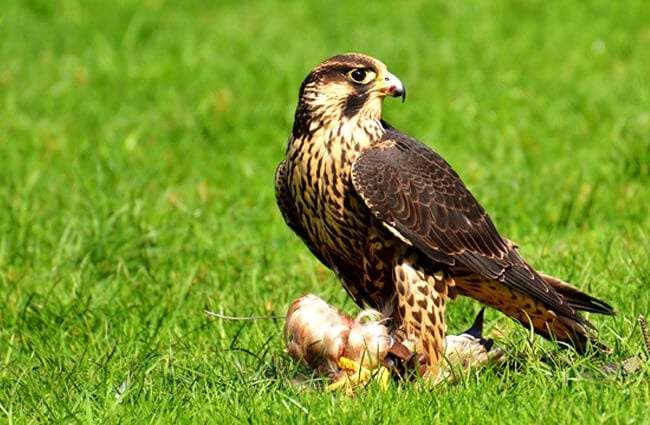 Peregrine Falcon with his prey.