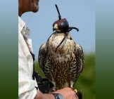 Peregrine Falcon With His Falconer.