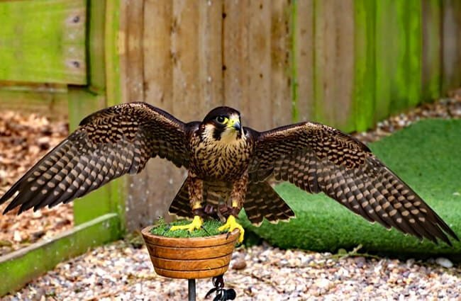 Peregrine Falcon with his wings spread.