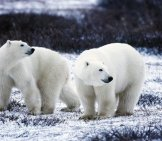 A Pair Of Polar Bears In The Spring Thaw.