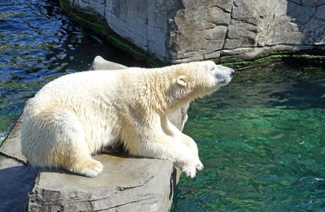 Large polar bear lounging on a rock.
