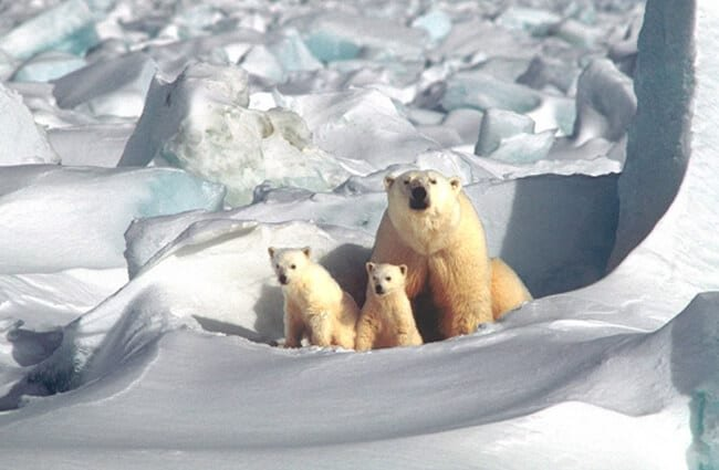 Mother polar bear and her cubs.