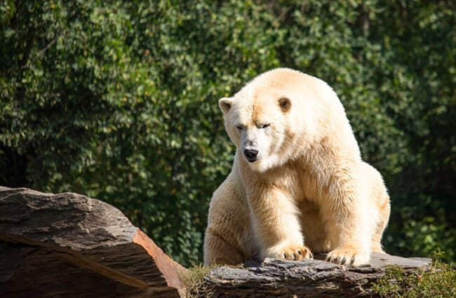 Polar bear on a rock ledge - notice the yellowing of his fur.