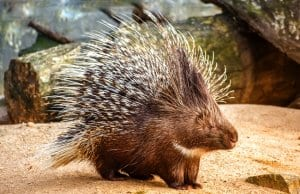 Porcupine in a zoo enclosure.