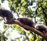 A Trio Of Arboreal Porcupines On A Tree Branch.