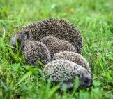 Mother Porcupine With Her Porcupettes.