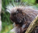 Closeup Of An Old World Porcupine.