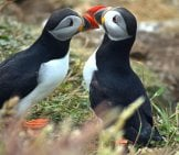 A Pair Of Puffins Together For Mating Season.