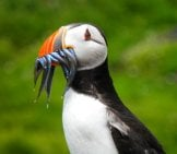 Puffin With A Mouthful Of Tiny Fish.