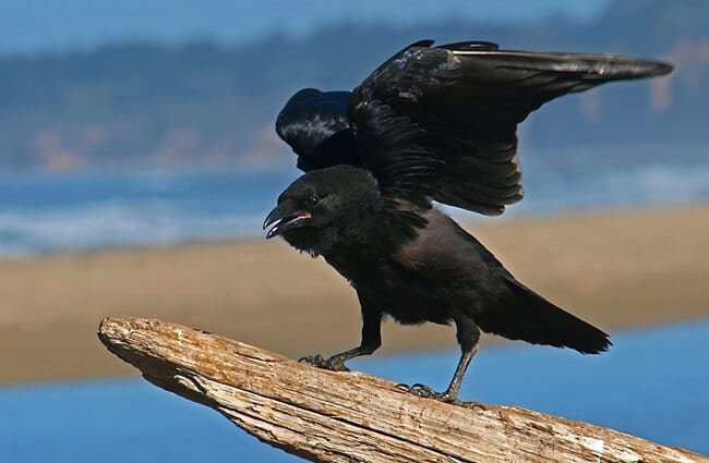 Black raven perched on driftwood.