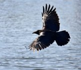 Raven Soaring Over The Water.