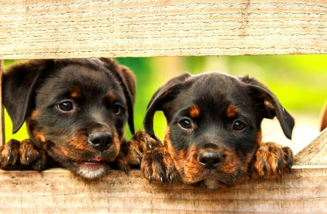 A pair of Rottweiler puppies peeking through the fence.