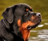Portrait Of A Rottweiler In Profile.