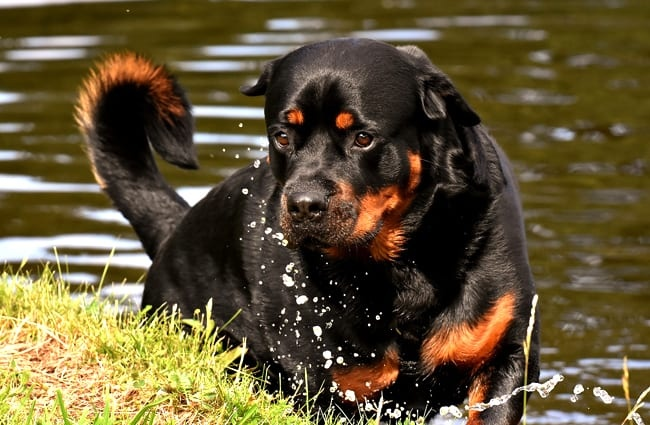 Rottweiler playing at the water's edge.