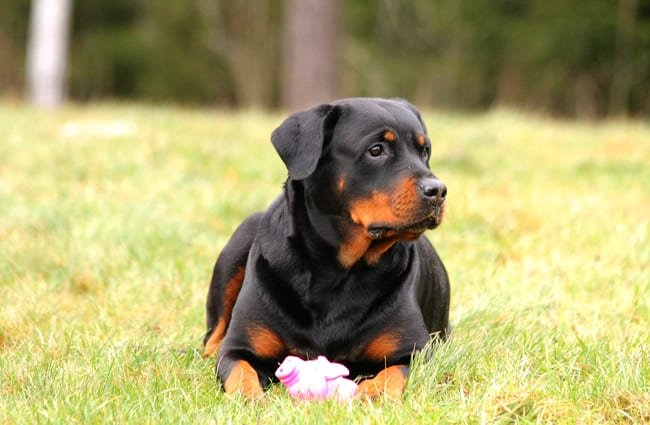 Rottweiler posing with his chew toy.
