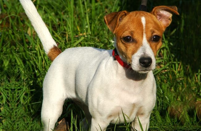 Portrait of a beautiful Russell Terrier.