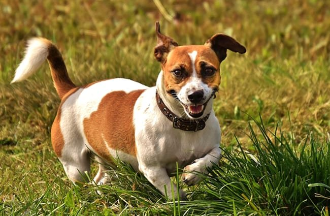 Russell Terrier playing in the field.